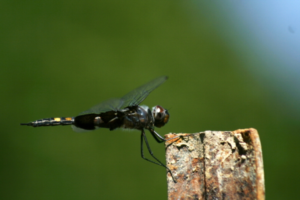 Pacific clubtail butterfly?