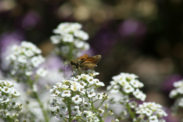 Male fiery skipper feeds on alyssum