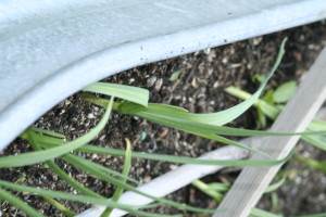 Garlic in a gopher-proof bed. Copyright Ann Carranza, 2016