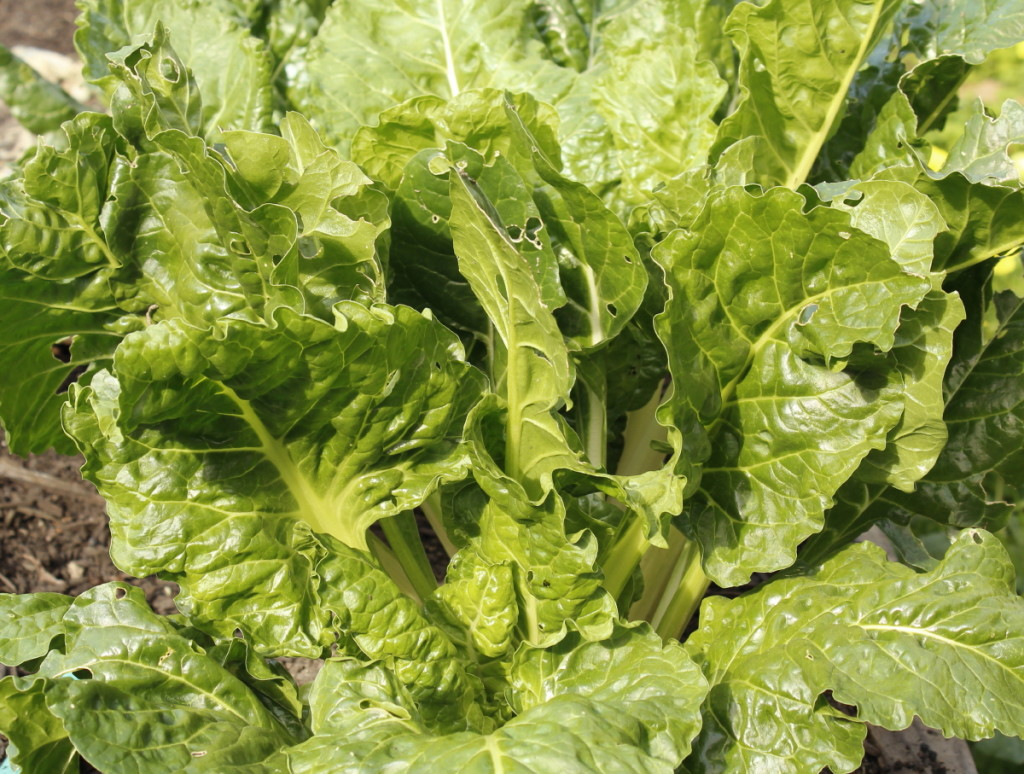 Robust chard grows in our garden. Event the little bugs like to chew on the leaves.